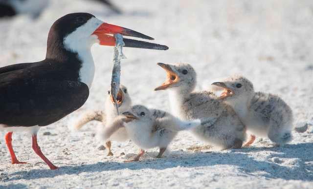 Черный скиммер кормит птенца