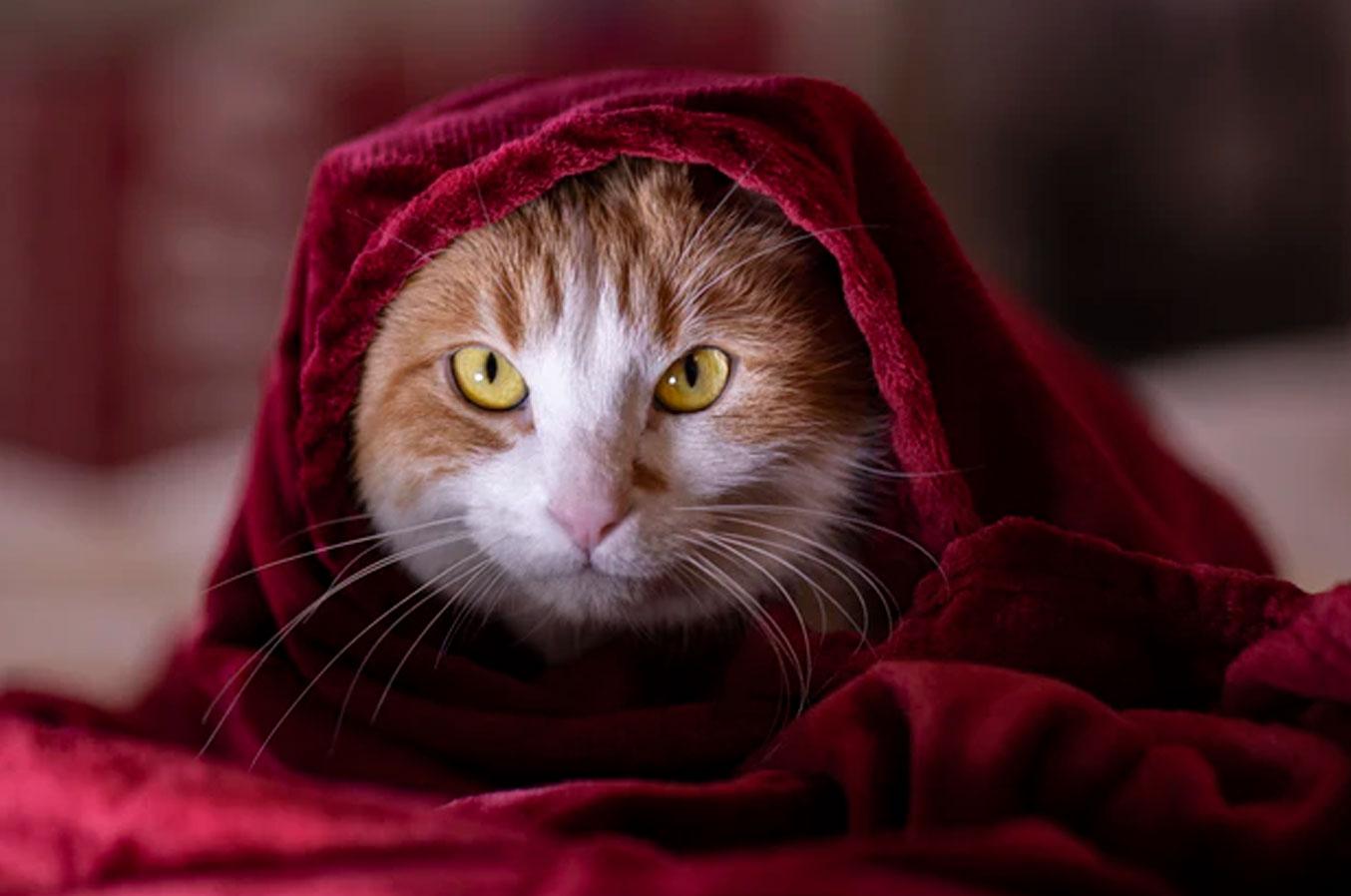 котик в пледе