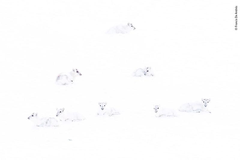 Найди северного оленя
