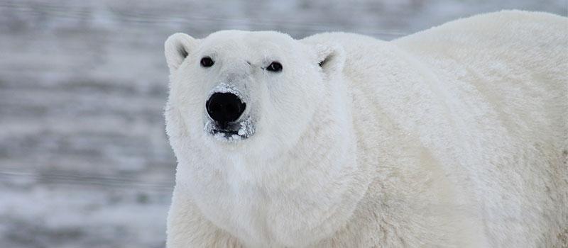 Оказывается, кожа у полярных медведей черного цвета