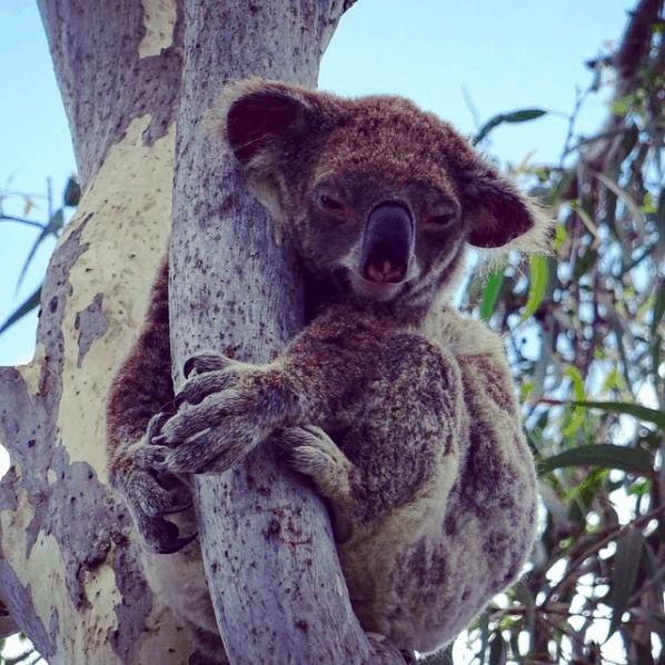 Things to do on Stradbroke Island - Wild Koala