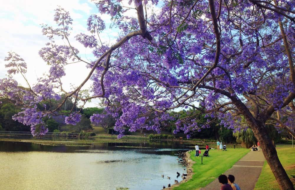 Jacaranda trees in Brisbane at the University of Queensland campus.