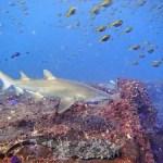 Diving Cherubs Cave - Grey Nurse Wobbegong