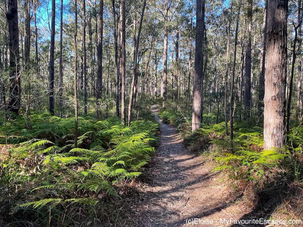 Eucalyptus forest on Somerset Trail