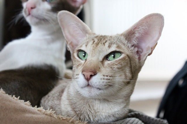 Cat Breeds With Big Ears An Awesome List To Choose From My Feline Buddy