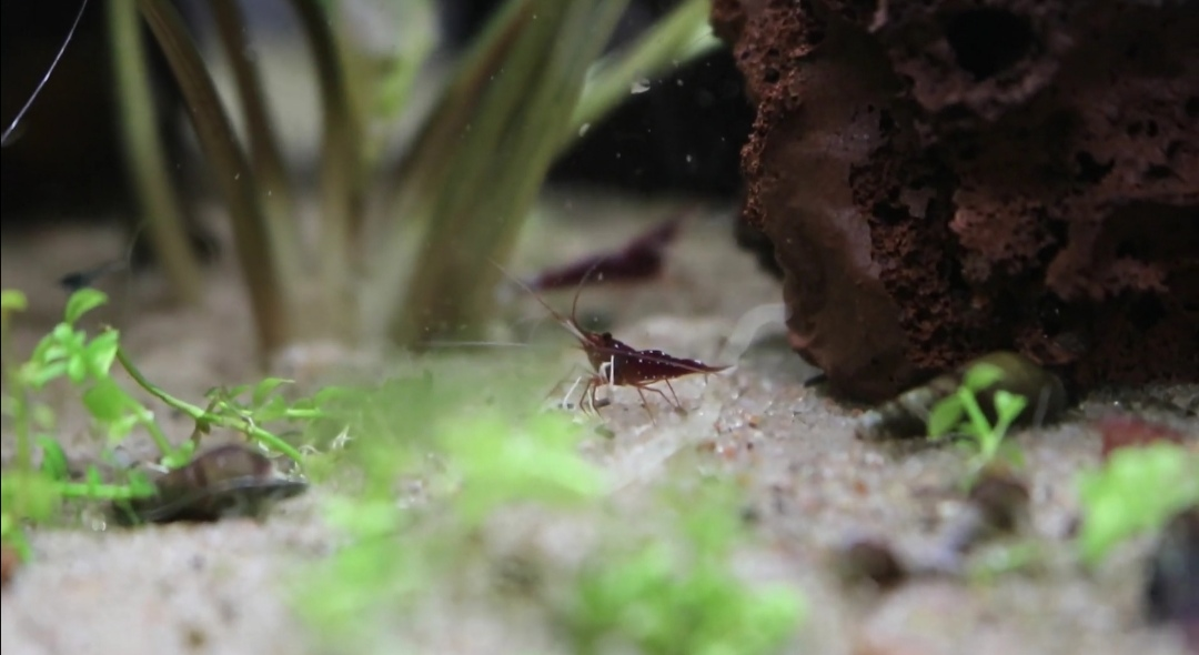 Cardinal Sulawesi shrimp: The Full Guide To Care, Keep