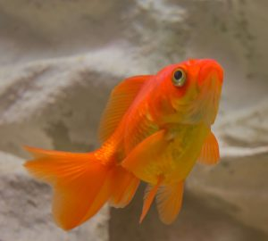 How long can goldfish go without food?