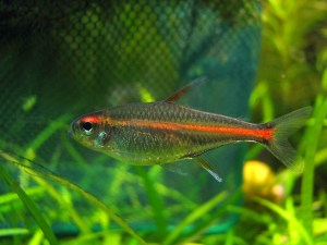 Gold Neon Tetra Ultimate Care Guide 2021