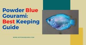 Powder Blue Gourami : Best keeping Guide