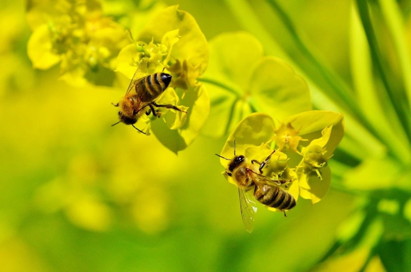 Study shows glyphosate may be killing honeybees | myfoodistry