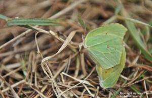 Спаривание бабочек