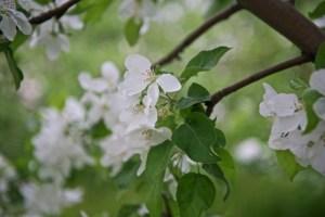 Яблони в Митрополичем саду