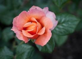 Roses in Rome 2013 (11 di 40)