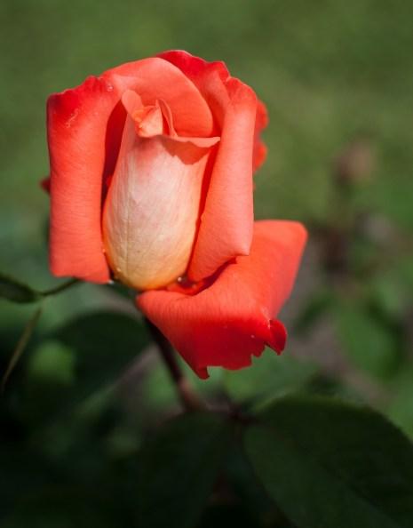 Roses in Rome 2013 (6 di 40)