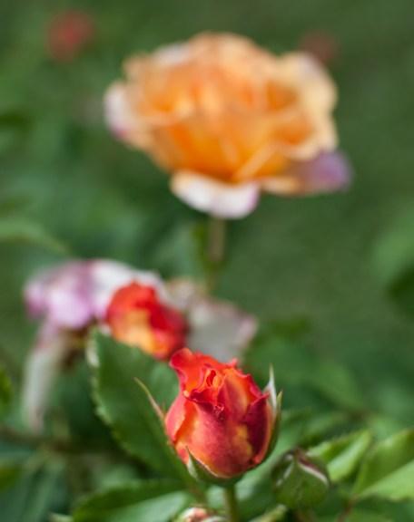 Roses in Rome 2013 (8 di 40)