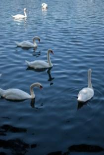Swans | Buy Now