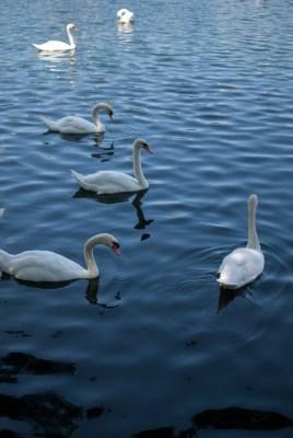 Swans   Buy Now