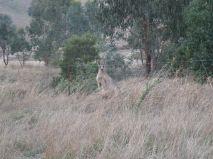 My first wild kangaroo!