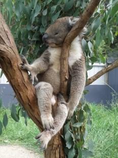 Really old Koala