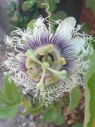 Passion Flower