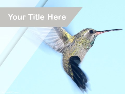 Free Humming Bird PPT Template