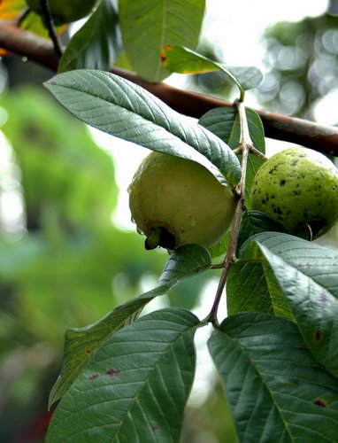 guava onthe tree