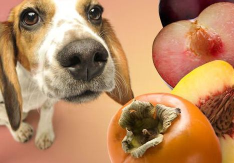 Can Dogs Eat Apricots