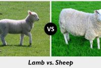 What is the Difference between Lamb and Sheep