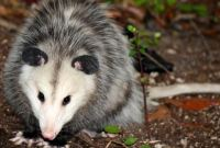 How to Get Rid of Possums in the Yard