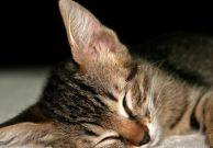 How Many Hours a Day do Cats Sleep