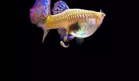 How Guppy Fish Give Birth