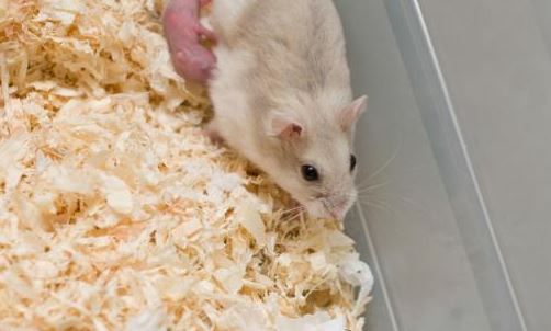 How to Take Care of Hamster Babies 1