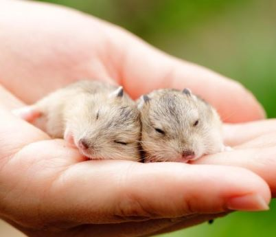 How to Take Care of Hamster Babies