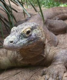 komodo dragon backpacking