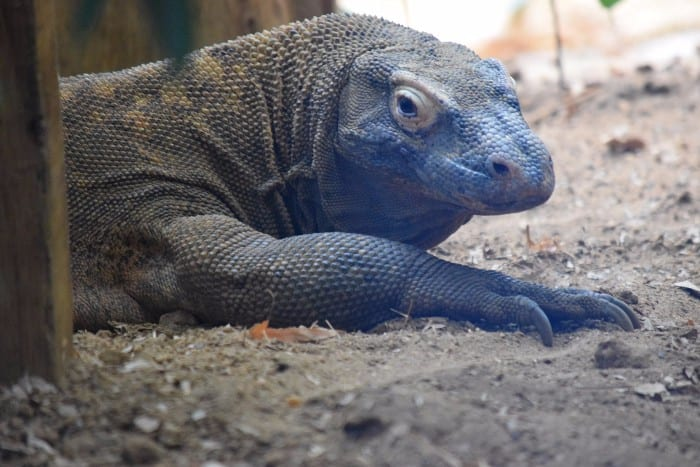 Visiting the Komodo Island dragons