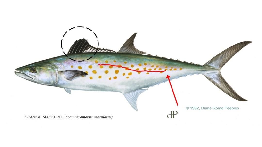 Illustration of a Spanish mackerel showing important characteristics