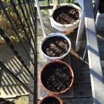 去年収穫したコリアンダー(パクチー)を鉢で育てる