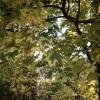 モントリオール植物園,斑入りの葉が美しいノルウェーメープル