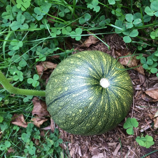 かぼちゃ自家菜園