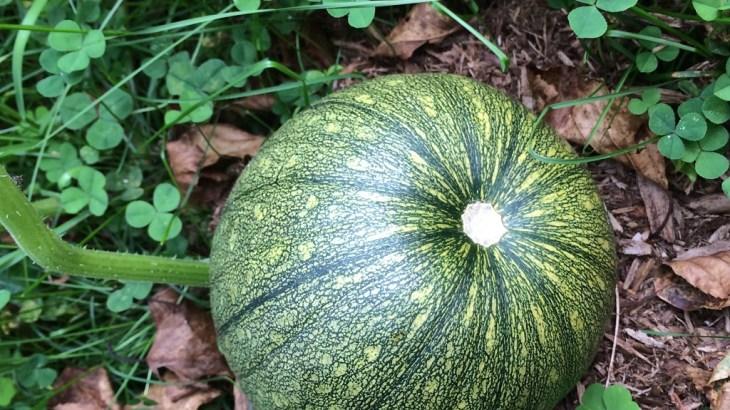 自家菜園で野菜が収穫できると思ったら・・・