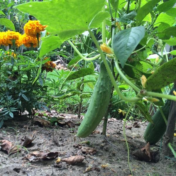 自家菜園、きゅうり
