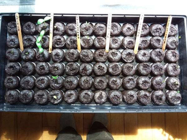 ペレットに蒔いた種が発芽