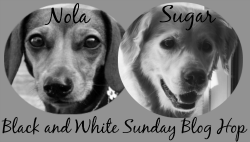 black white sunday badge