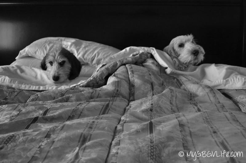 My GBGV Life lazy dogs
