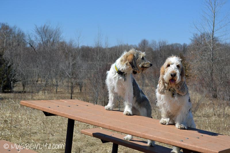My GBGV Life picnic puppies