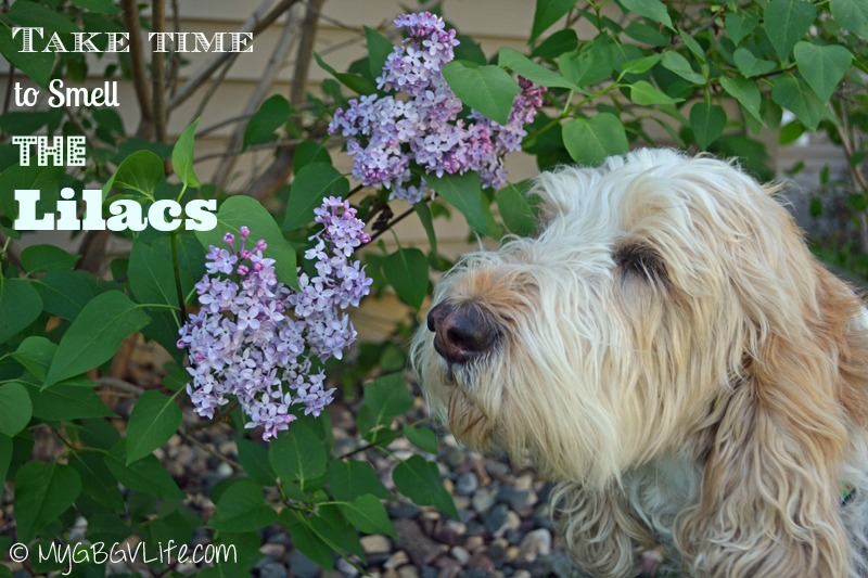 My GBGV Life smelling lilacs in the spring