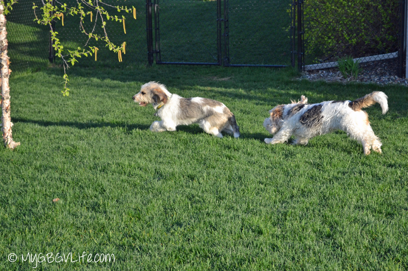My GBGV Life #DogFun Why life with dogs is best chase in the yard