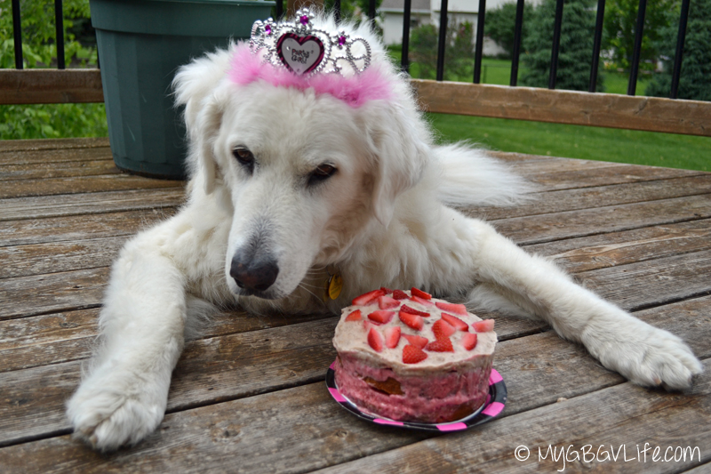 My GBGV Life Kuvasz Katie with her 12th birthday cake