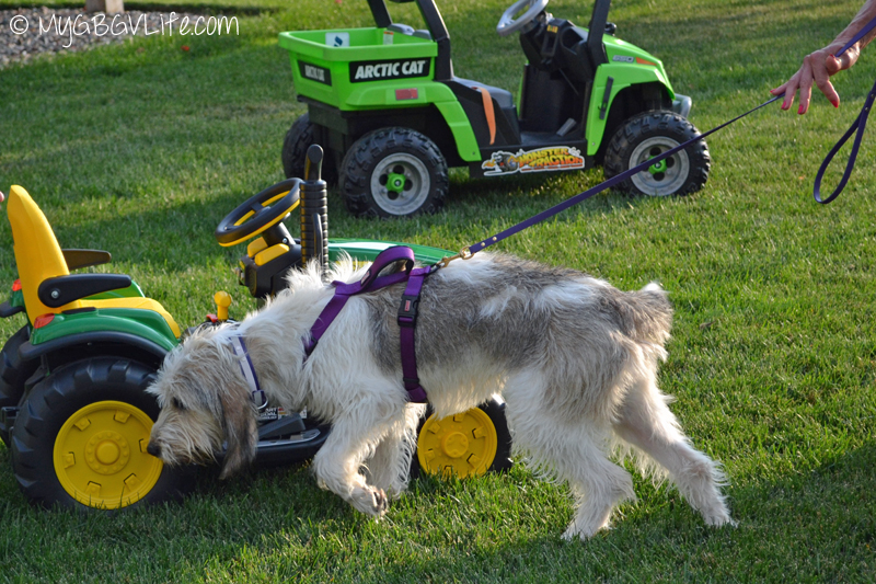 My GBGV Life Bailie sniffing the miniature tractor