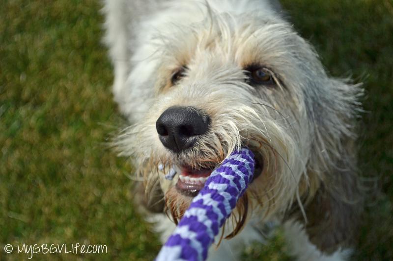 My GBGV Life Bailie playing rope tug